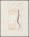 Siren lacertina - 1700-1880 - Print - Iconographia Zoologica - Special Collections University of Amsterdam - UBA01 IZ11400193.tif