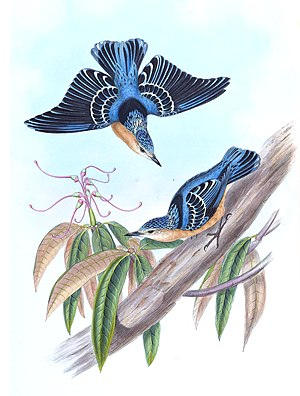 Beautiful nuthatch - Illustration of Sitta formosa, by  John Gould and H. C. Richter