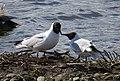 Skrattmås Black-headed Gull (20357332481).jpg
