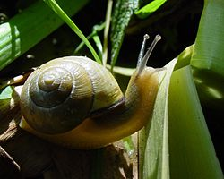 Cepaea nemoralis: another European pulmonate land snail which has been introduced to many other countries.
