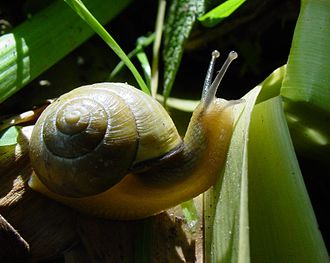 Cepaea nemoralis: another European pulmonate land snail, which has been introduced to many other countries Slimaczek.jpg