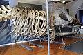 Slottsfjellsmuseet Museum Hvalhallen (Whale Hall) Tønsberg, Norway. Hvalskjeletter (Old skeletons) Spermhval Spermasetthval (Sperm whale Rhyseter macrocephalus 1896) 2020-01-21 2301.jpg