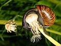 Snail in Finland Etan Suomessa 01.jpg