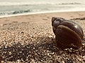 Snail in the beach.jpg