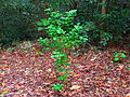 Snakeweed in the wild (5731208765).jpg