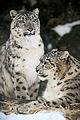 Snow Leopard Family Portrait (12710981665).jpg