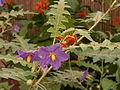 Solanum pyracanthos, Phipps Conservatory, 2015-10-01, 02.jpg