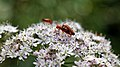 Soldier beetle Cantharis livida mating at Woods Mill, Sussex Wildlife Trust, England 2.jpg