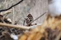 Song Sparrow (Melospiza melodia) (12256512865).jpg