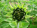 Sonnenblume geschlossene Blütenknospe.JPG