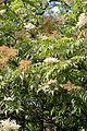 Sorbaria arborea - Floraison.jpg