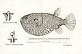 Southern Pacific fishes illustrations by F.E. Clarke 75.jpg