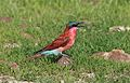 Southern carmine bee-eater, Merops nubicoides, Chobe National Park, Botswana (32461204865).jpg