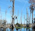 Spanish Moss in Okefenokee Swamp.jpg