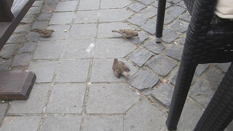 File:Sparrow chick begging for food (8022438169).jpg