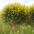 Spartium junceum Colmenar Viejo 2.jpg