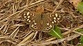 Speckled Wood Pararge aegeria (pa-RAH-jee ee-JEER-ee-uh) (Explored). - Flickr - pete. ^hwcp.jpg