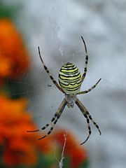 http://upload.wikimedia.org/wikipedia/commons/thumb/c/cf/Spider_black_yellow.jpg/180px-Spider_black_yellow.jpg