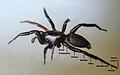 Spider leg nomenclature00.jpg