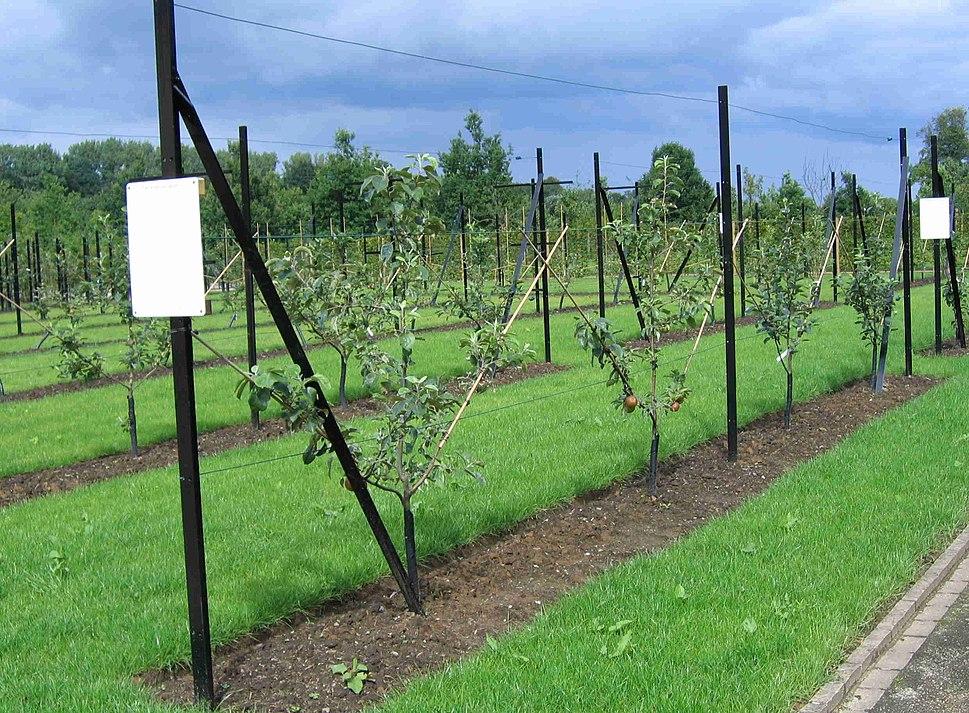 Spindlebush fruittreeform
