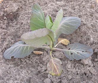 Nitrogen deficiency - A young cabbage plant exhibiting nitrogen deficiency.