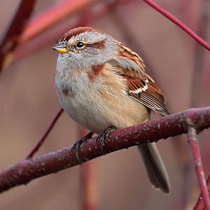 English: American Tree Sparrow (Spizella arbor...