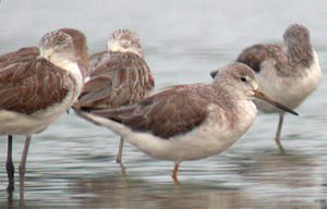 Daedong Bay Important Bird Area - The bay is an important staging site for Nordmann's greenshanks