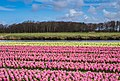 Spring in Holland (47404771092).jpg