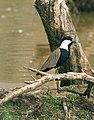 Spur-winged Plover.jpg