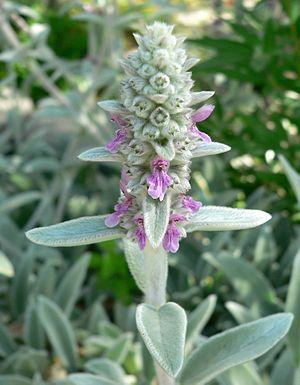 Stachys - Image: Stachys byzantina flowers