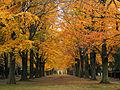 Stadtfriedhof Ricklingen, Hannover, Blick im Herbst durch die Rotbuchenallee auf die Abteilung 45.jpg