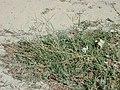 Starr-010203-0214-Cynodon dactylon-habit-Kanaha Beach-Maui (24448722131).jpg