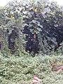 Starr-011205-0132-Thunbergia alata-climbing on Macaranga mappa-Hilo-Hawaii (23917206353).jpg