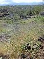 Starr-030424-0014-Zinnia peruviana-habit-Puu o Kali-Maui (24522828792).jpg
