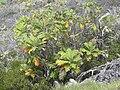 Starr-030628-0024-Bocconia frutescens-habit-Auwahi-Maui (24609649956).jpg