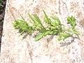 Starr-030628-0155-Dysphania ambrosioides-habit-Ulupalakua-Maui (24340509950).jpg