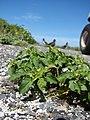 Starr-080604-6058-Solanum americanum-flowering habit-South Beach Sand Island-Midway Atoll (24886908916).jpg