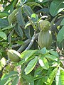 Starr-090610-0486-Pachira aquatica-fruit-Haiku-Maui (24963672495).jpg
