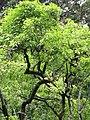 Starr-090618-1077-Aleurites moluccana-habit-Hana Hwy-Maui (24872236561).jpg