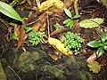 Starr-090623-1495-Adenanthera pavonina-seedlings in understory-Nahiku-Maui (24339825103).jpg
