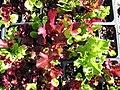 Starr-090801-3489-Lactuca sativa-No Ka Oi blend in plugs-Olinda-Maui (24603242929).jpg