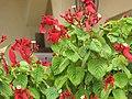 Starr-090806-4062-Mussaenda sp-red with white flowers-Kahului-Maui (24878528021).jpg