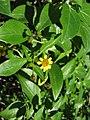 Starr-091104-0747-Lipochaeta succulenta-flower and leaves-Kahanu Gardens NTBG Kaeleku Hana-Maui (24619898839).jpg