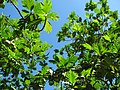 Starr-091104-0778-Artocarpus altilis-fruit leaves and sky-Kahanu Gardens NTBG Kaeleku Hana-Maui (24961267856).jpg