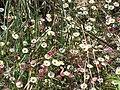 Starr-100603-6867-Erigeron karvinskianus-flowers-Polipoli-Maui (25013489746).jpg