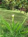 Starr-110330-3577-Crinum asiaticum-flowering habit-Garden of Eden Keanae-Maui (24962221812).jpg