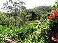 Starr-110330-4191-Heliconia psittacorum-habit-Garden of Eden Keanae-Maui (24963219402).jpg