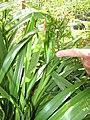 Starr-110411-4950-Dianella sandwicensis-leaves form sandwicensis-Hawea Pl Olinda-Maui (24714845009).jpg