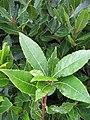 Starr-120305-3521-Laurus nobilis-leaves-Park Building 11 HNP-Maui (24769704009).jpg