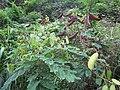 Starr-130319-2806-Caesalpinia decapetala-flowers leaves seedpods-Quarry Beach Rd-Kauai (24840525199).jpg